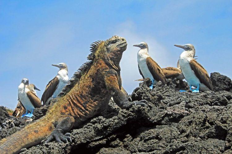 blue-footed-boobies-iguana-galapagos-shutterstock_778677136 (1)