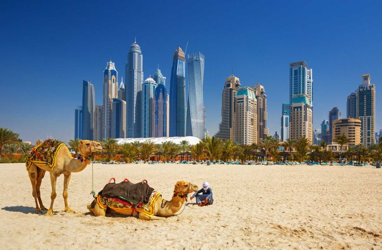 Camels at the beach in front of Dubai city line, United Arab Emirates