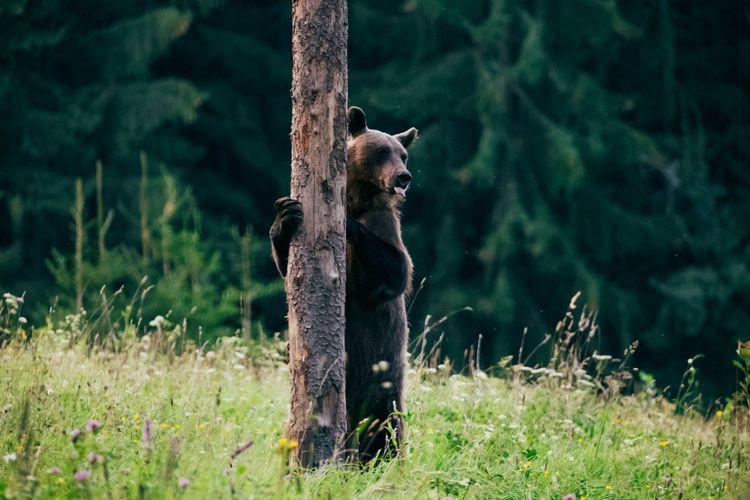 carpathian-brown-bear-shutterstock_1152549152