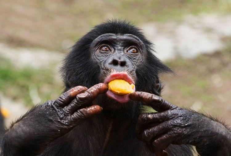 chimpanzee-congo-shutterstock_171164414