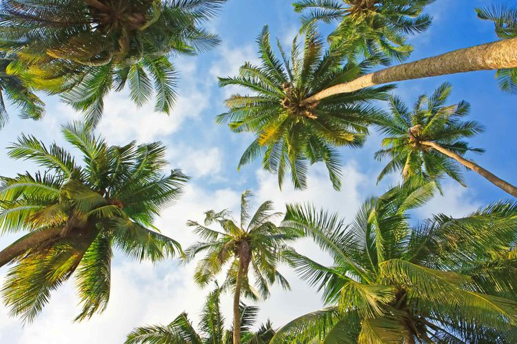 coconut-palm-trees-shutterstock_151586240