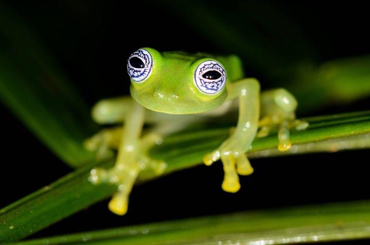 ghost-glass-frog-rara-avis-reserve-costa-rica-shutterstock_1028406238
