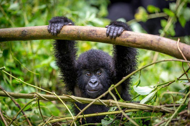 gorilla-rwanda-shutterstock_338044043