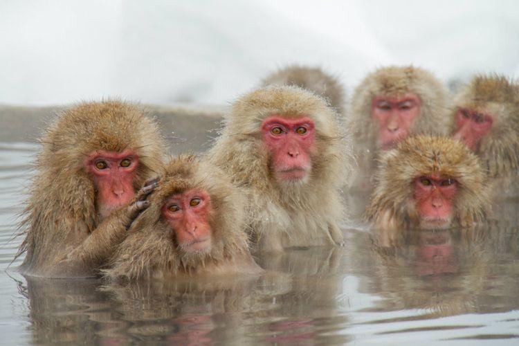 hot-spring-snow-monkey-japan-shutterstock_516033991