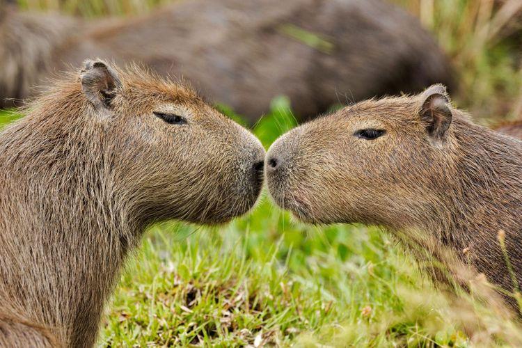 Ibera-Wetlands-brazil-Capybara -shutterstock_1051209281
