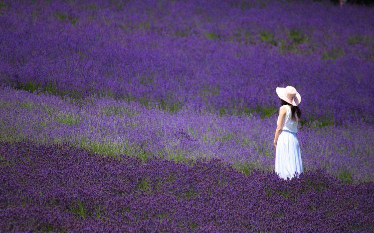 lavender-field-hokkaido-japan-shutterstock_700499296