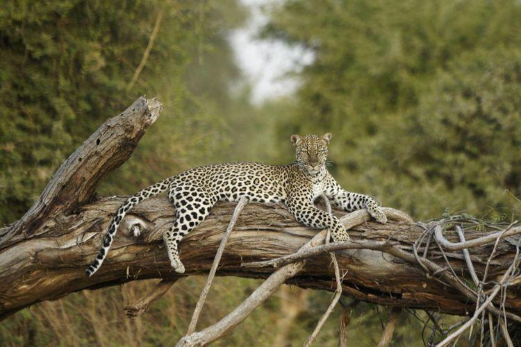 leopard-Samburu-Kenya-shutterstock_765564229