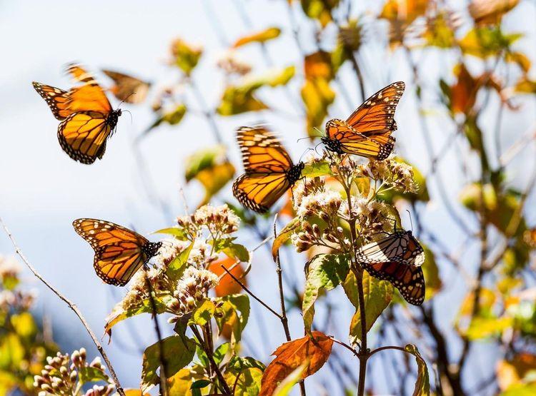 monarch-butterfly-shutterstock_541884034