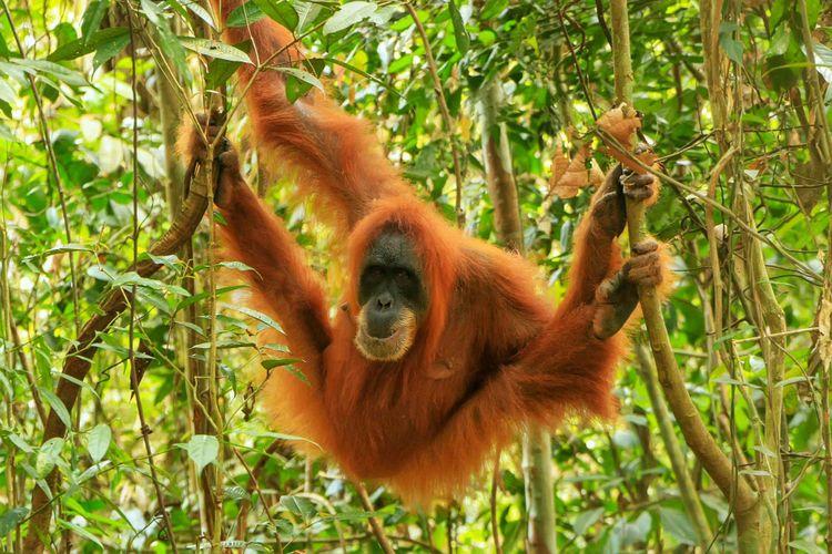 orangutan-sumatra-indonesia-shutterstock_1307261770