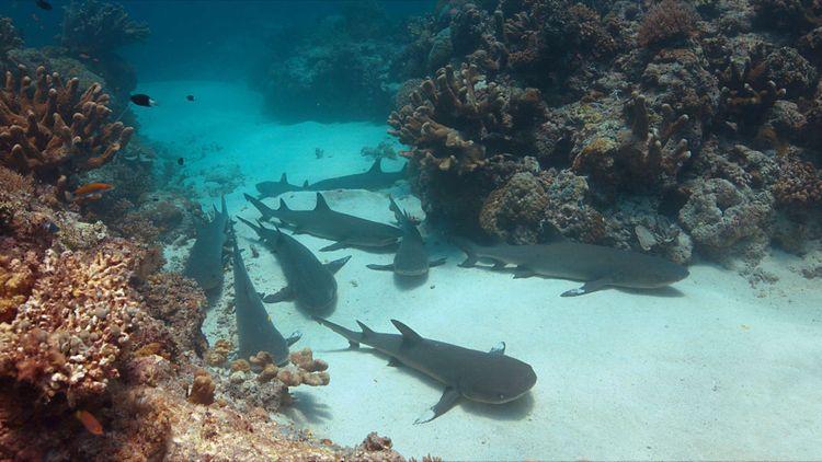 reef-sharks-shutterstock_570782032