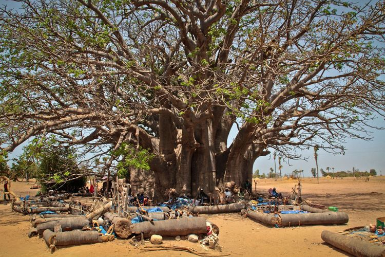 1200 year old tree, Senegal, Africa