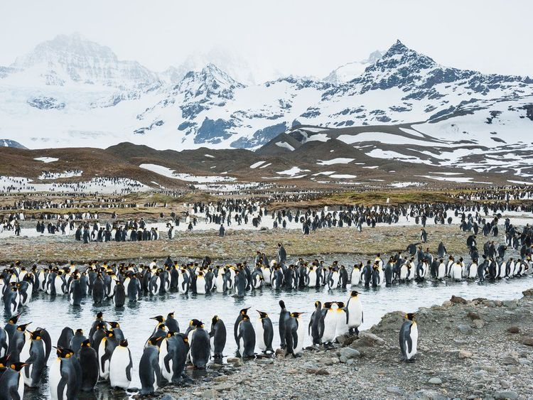 Penguins on South Georgia Island