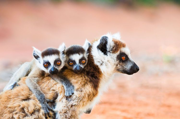 Ringtailed lemur carrying twin babies in Madagascar