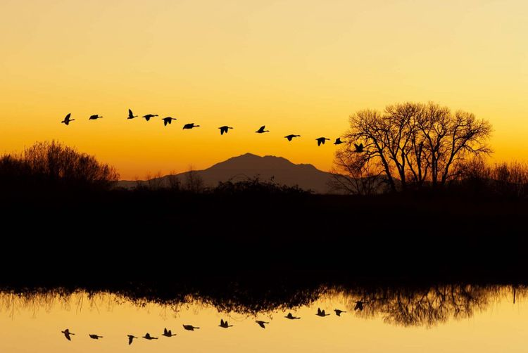 Silhouette of Canadian Geese flying at sunset