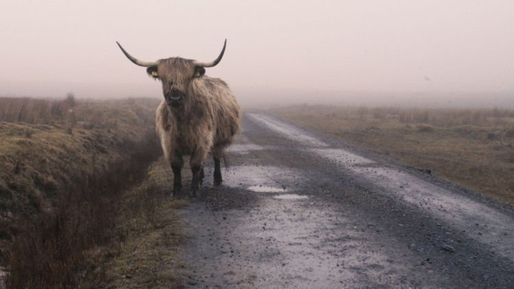 Moody cattle on the island Islay, Scotland
