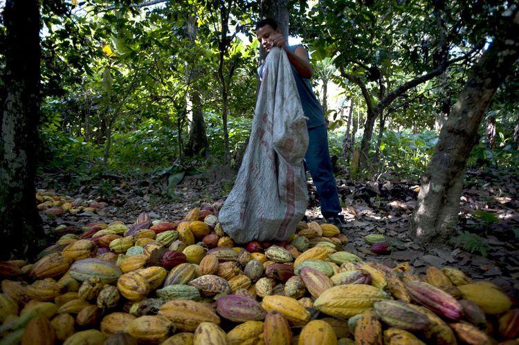 Venezuelan cocoa growers