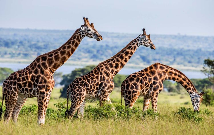 uganda-giraffes-shutterstock_622709234