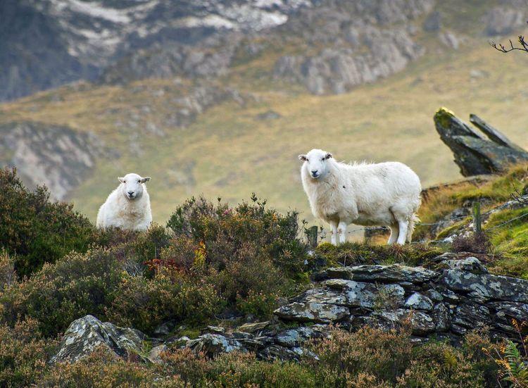 Two Welsh Mountain Sheep