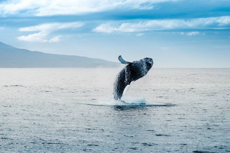 whale-jump-ocean-iceland-shutterstock_745407220