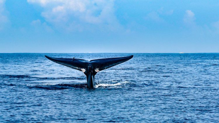 whale-sri-lanka-shutterstock_1153971064