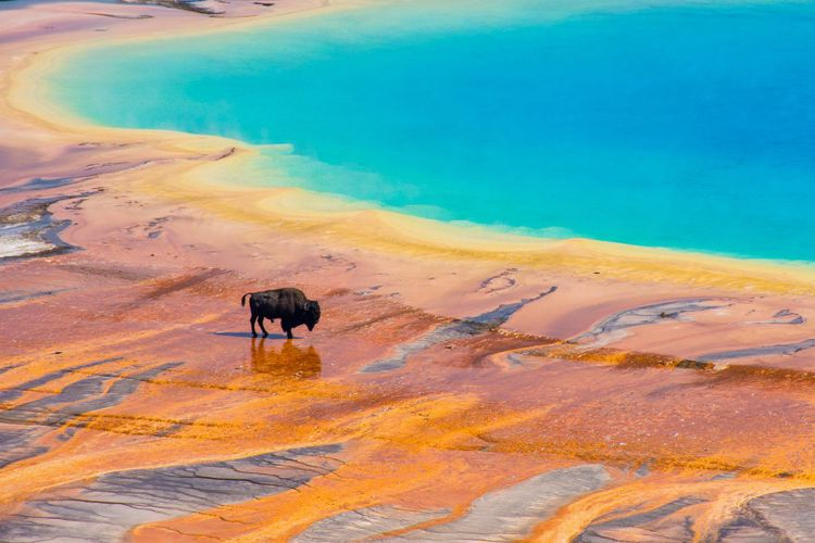yellowstone-bison-shutterstock_1374604652